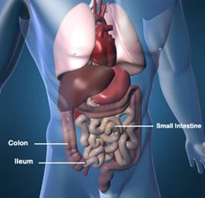 Colon, ileum, and small intestine.